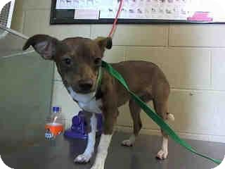 Chihuahua Mix Dog for adoption in Grass Valley, California - Tiffany