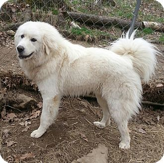 Croydon Nh Great Pyrenees Meet Nate In New England A Pet For