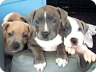 Worcester, MA - Pit Bull Terrier  Meet Puppies! a Pet for Adoption