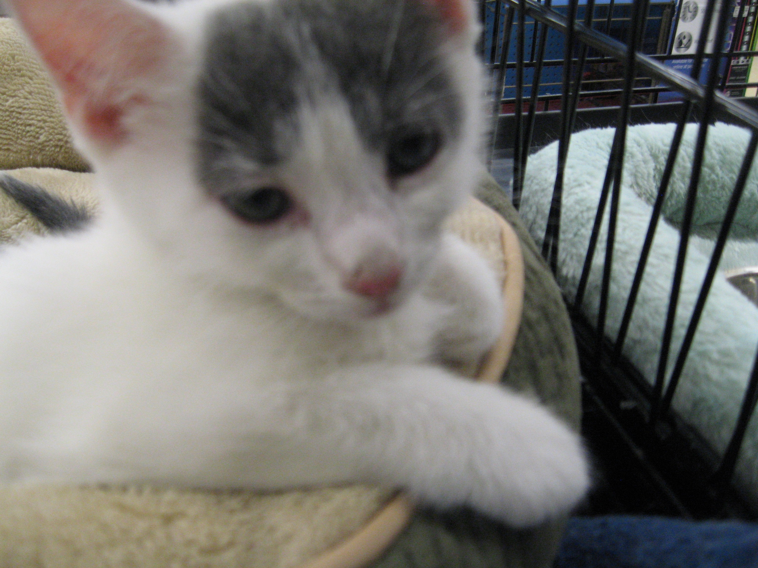 New York Ny Russian Blue Meet Russian Blue White Kittens A Pet For Adoption
