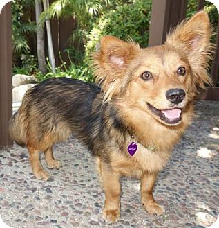 Lomita Ca Pembroke Welsh Corgi Meet Mylie A Pet For Adoption