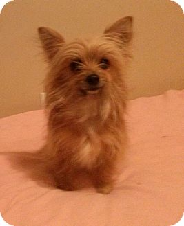 Madison Tn Yorkie Yorkshire Terrier Meet Molly Adopted A Pet