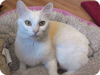 Domestic Shorthair Cat for adoption in Weatherford, Texas - Bianca