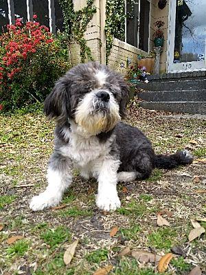 Wilmington Nc Shih Tzu Meet Danny A Pet For Adoption