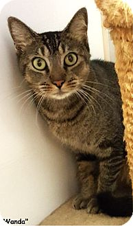 Domestic Shorthair Cat for adoption in Key Largo, Florida - Wanda