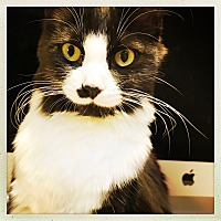 Adopt A Pet :: Molly (temporary as she is a kitten we rescued from the street) - Claremont, CA