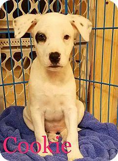 Labrador Retriever Mix Puppy for adoption in Sugar Grove, Illinois - Cookie