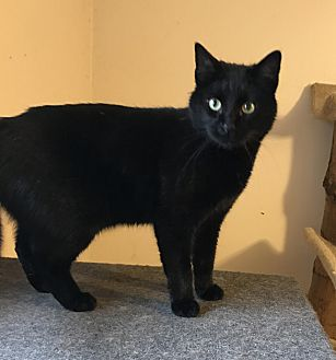 Domestic Shorthair Cat for adoption in Lombard, Illinois - Watson