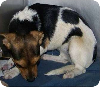 Beagle/Chesapeake Bay Retriever Mix Dog for adoption in Phoenix, Arizona - Waverly