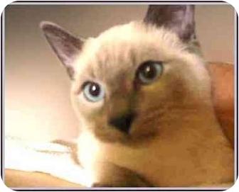 Siamese Kitten for adoption in San Clemente, California - YODA