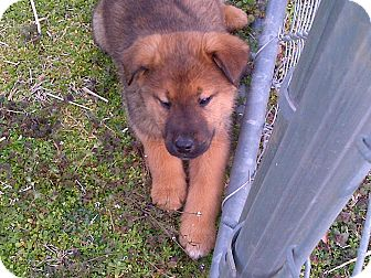 Shepherd (Unknown Type) Mix Puppy for adoption in Albany, New York - Winnie