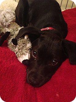 St Petersburg Fl Labrador Retriever Meet Beautiful Lab Puppies