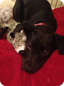 St Petersburg, FL - Labrador Retriever. Meet !Beautiful! Lab Puppies! a Dog for Adoption.