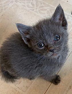 Adopt A Pet :: Tiny Tim  - Dumfries, VA