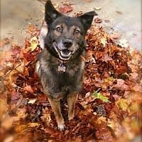 Adopt A Pet :: Handsome Ziggy - Burbank, CA