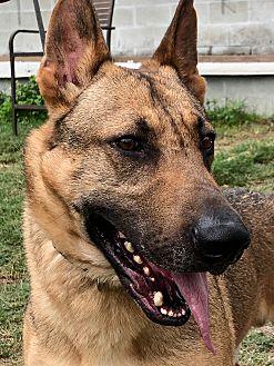 Adopt A Pet :: Just a beautiful dog....  - Ft Myers Beach, FL