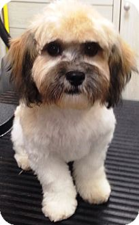 Bichon Frise/Shih Tzu Mix Puppy for adoption in Dover, Massachusetts - Neddy