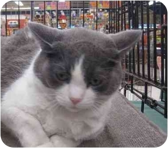 Domestic Shorthair Cat for adoption in Washington, Pennsylvania - FiFi