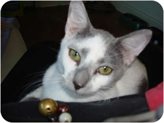 Domestic Shorthair Cat for adoption in Lake Charles, Louisiana - Tom