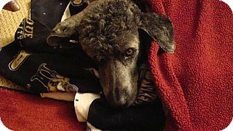 Bloomington, IN - Poodle (Standard)  Meet Liz a Pet for Adoption