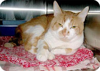 Domestic Mediumhair Cat for adoption in Salem, Oregon - Kinky (shelter)