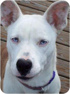 Covington Ky Husky Meet Loubell A Pet For Adoption