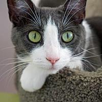 Adopt A Pet :: Victoria - Los Angeles, CA