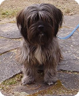 W Warwick Ri Shih Tzu Meet Sadie A Pet For Adoption