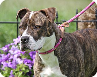 Boxer/Pit Bull Terrier Mix Dog for adoption in Marietta, Ohio - Sabrina (Spayed)-New Photos