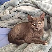 Adopt A Pet :: Tiramisu - McKinney, TX