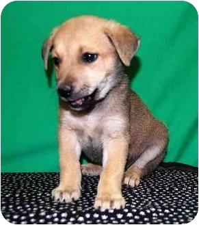 Shepherd (Unknown Type)/Shepherd (Unknown Type) Mix Puppy for adoption in Broomfield, Colorado - 1Kim