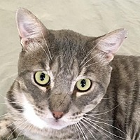 Adopt A Pet :: Stripey - Lancaster, CA