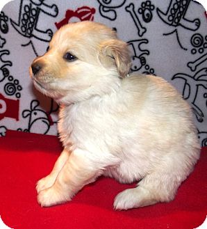 Morgantown Wv Golden Retriever Meet Golden Ret Puppies A Pet For