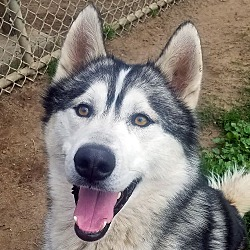 Available pets at Moonsong Malamute Rescue in Boise, Idaho