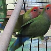 Lovebird for adoption in Edgerton, Wisconsin - Loco & Novia