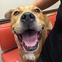 Adopt A Pet :: Chiko - Las Vegas, NV