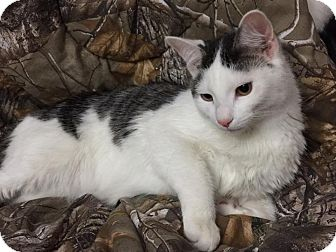 Domestic Shorthair Cat for adoption in Hampton, Illinois - Weeble