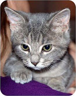 Domestic Shorthair Kitten for adoption in Huntley, Illinois - Amanda