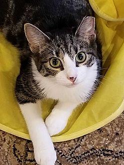 Adopt A Pet :: Baby Gray  - Morganville, NJ