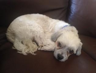 Edmonton, AB - Havanese  Meet Milo a Pet for Adoption