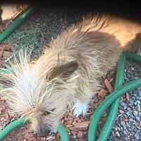 Adopt A Pet :: Maltese Mix Baby GIrl Heidi - Corona, CA