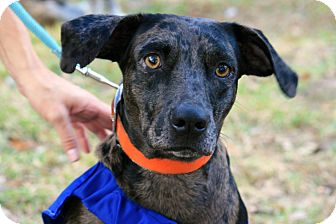 Catahoula Leopard Dog/Labrador Retriever Mix Dog for adoption in Tallahassee, Florida - Maddy