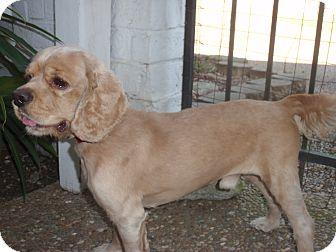 Cocker Spaniel Dog for adoption in Sugarland, Texas - Kenny