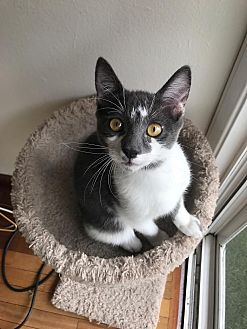 Domestic Shorthair Kitten for adoption in Los Angeles, California - Hemingway (bonded to Thoreau)
