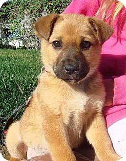 Long Beach Ca German Shepherd Dog Meet Shepherd Puppy A Pet For