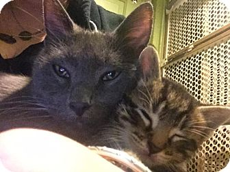 Domestic Shorthair Cat for adoption in Chicago, Illinois - Frost