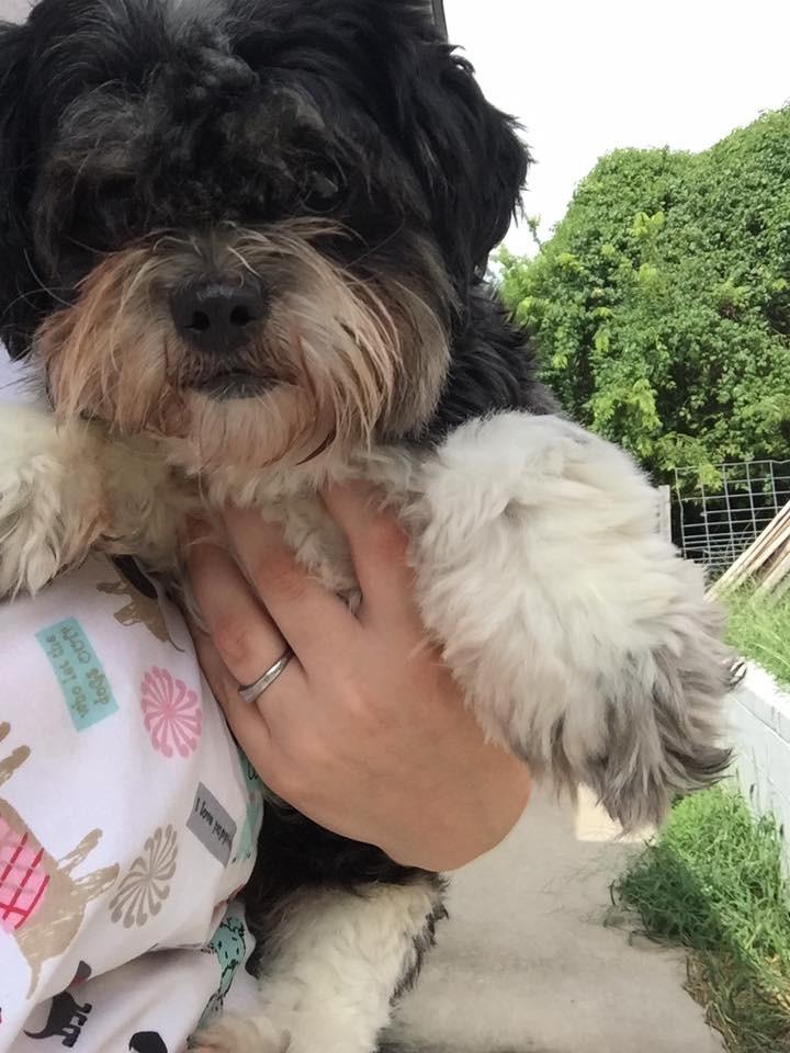 Joplin Mo Shih Tzu Meet Shelly A Pet For Adoption