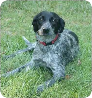 Mocksville, NC - German Shorthaired Pointer. Meet Carly a Dog for Adoption.