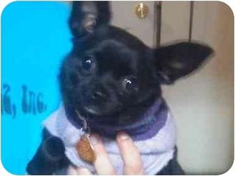 Reno Nv Chihuahua Meet Liberty A Pet For Adoption