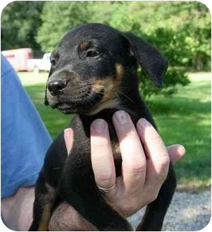 Rottweiler/Boxer Mix Puppy for adoption in Kingwood, Texas - Rottnboxers